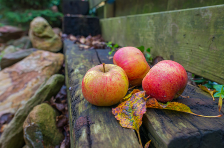 fallen fruit: Apples fallen from an apple tree in autumn Stock Photo