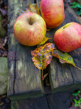 fall colors: Apples fallen from an apple tree in autumn Stock Photo