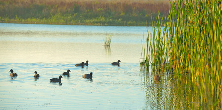 lake shore: Coots swimming in a lake at sunrise in autumn