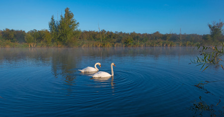swimming swan: Swans swimming in a canal in foggy sunny autumn Stock Photo