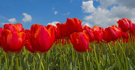 Rote Tulpen in einem sonnigen Feld im Frühjahr