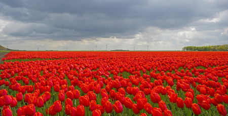 agriculture landscape: Deteriorating weather over tulips in spring