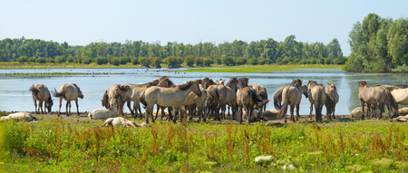 almere: Herd of horses along the shore of a lake in summer Stock Photo