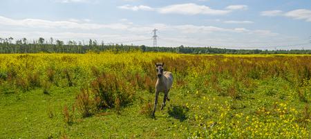 wildanimal: Foal running in a field with wildflowers in summer