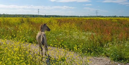 wildanimal: Foal in a field with wildflowers in summer