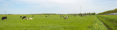 Herd of cows grazing in a meadow in spring 스톡 콘텐츠