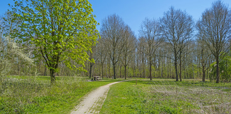 chestnut tree: Chestnut tree along a footpath in spring