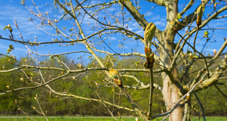 gloriole: Chestnut tree in a sunny meadow in spring Stock Photo