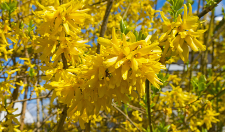 blossoming: Blossoming forsythia in spring