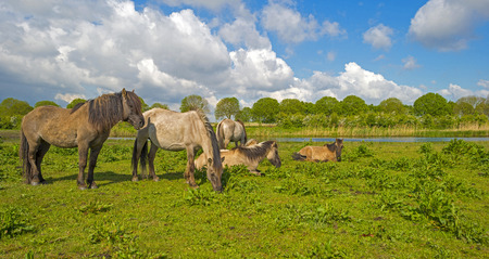 almere: Herd of horses in naturally below a blue cloudy sky Stock Photo
