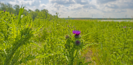 countryside landscape: Thistle in a field in spring