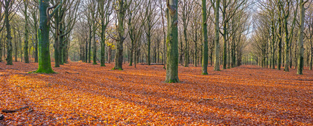 fall trees: Beech forest in sunlight in autumn Stock Photo