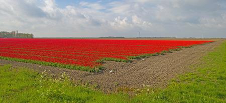 bloembollenvelden: Bulb fields with tulips in spring
