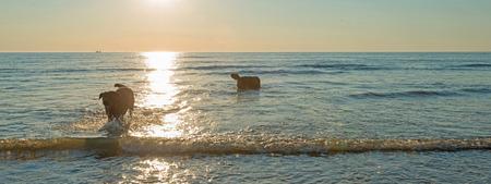 dogs playing: Perros que juegan en el mar al atardecer