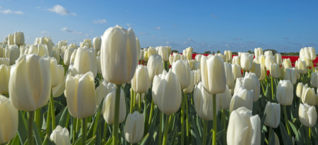 bulb fields: Bulb fields with tulips in spring