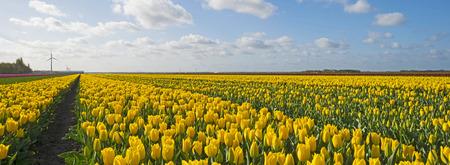 tulipan: Żarówka z pola tulipanów wiosną