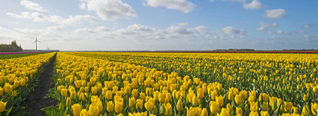 tulip: Bulb fields with tulips in spring