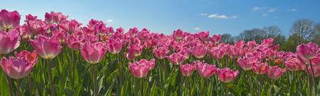 fields of flowers: Tulips in a field in spring
