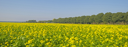 rapeseed: Rapeseed growing on a field in summer Stock Photo