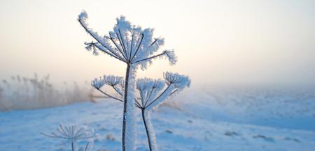 snowy field: Hoarfrost on a flower in a snowy field