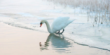 ice sheet: Swan on an ice sheet looking into water