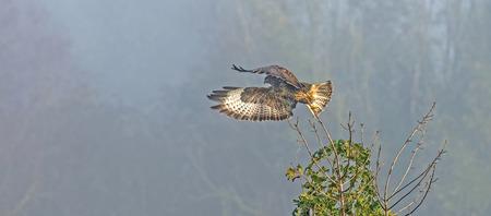 zopilote: Buzzard volando de un árbol en otoño