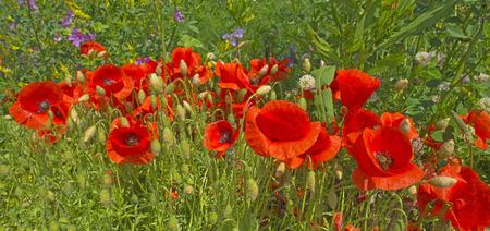 poppy: Amapolas en un campo en verano Foto de archivo