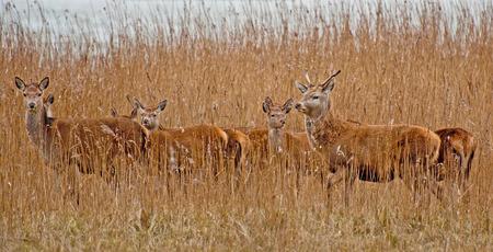 vigilant: Red deer in a field in winter Stock Photo