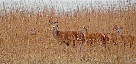 red deer: Red deer in a field in winter Stock Photo