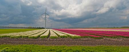 tulip: Tulips in a field in spring