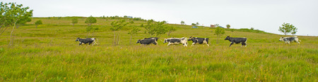 farm animals: Cows running in the mountains of Vosges Stock Photo