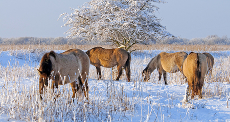 almere: Horses in a snowy field in winter Stock Photo