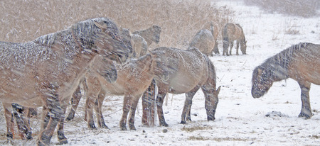 a blizzard: Horses in a blizzard in winter Stock Photo