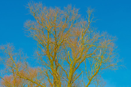 canopy: Canopy of a tree in a blue sky in winter Stock Photo