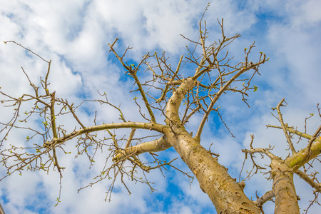 canopy: Canopy of a pruned apple tree