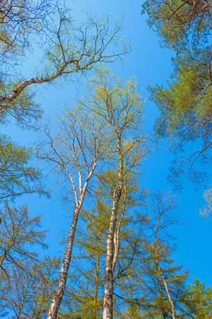 canopies: Canopies of trees in spring
