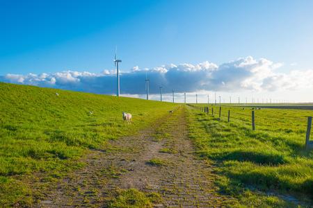 lelystad: Sheep grazing on a dike in spring