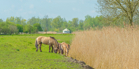 feral: Feral horses in nature in spring