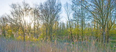 flevoland: Forest in sunlight in spring Stock Photo