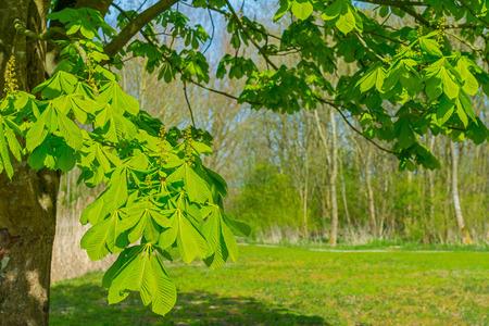 chestnut tree: Chestnut tree in sunlight in spring