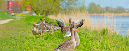 vigilant: Geese and goslings along the shore of a canal