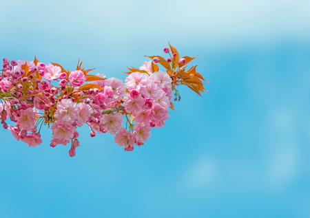 blossoming: Blossoming tree in spring