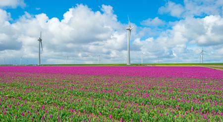 flevoland: Tulips in a field in spring