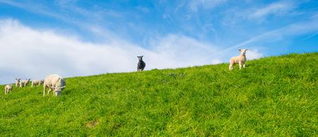 dike: Sheep walking on a dike in spring
