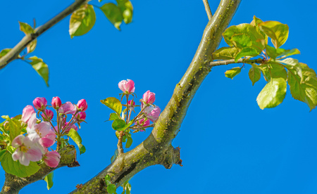 blossoming: Blossoming apple tree in spring