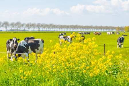 flevoland: Cows in a meadow in spring