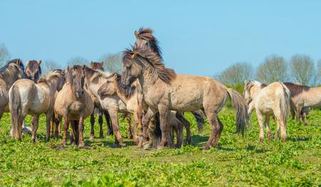 flevoland: Horses in nature in spring Stock Photo
