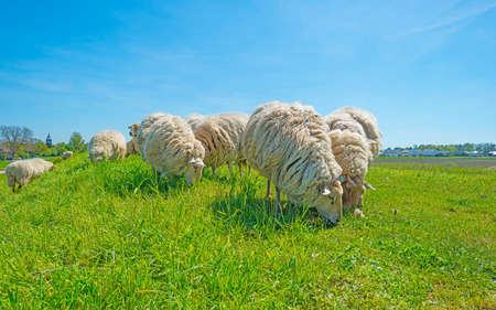 dyke: Sheep on a sunny green dyke in spring