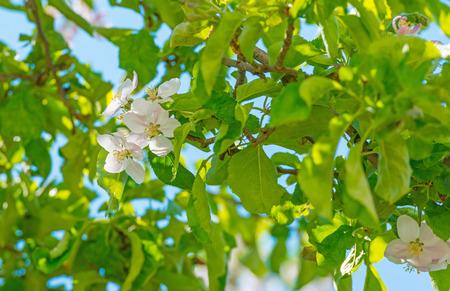 flevoland: Blossoming apple tree in spring