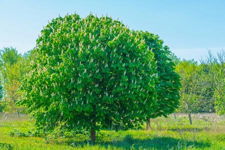 chestnut tree: Chestnut tree in a field in spring